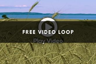 Video_Loop___Wheat_field_324641111.jpg