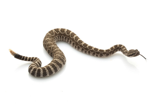 article_images/rattlesnake_630989695.jpg